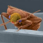 Early History of Bed Bugs in America
